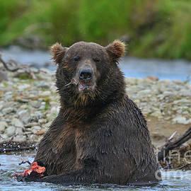 Big Brown Bear Eating Salmon In Stream by Dan Friend
