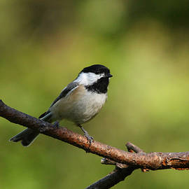 Debbie Oppermann - Perched Black Capped Chickadee