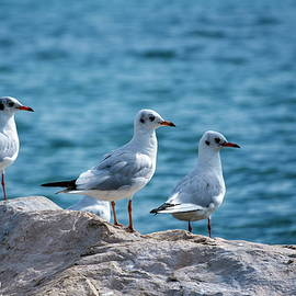 Black-headed gulls, chroicocephalus ridibundus by Elenarts - Elena Duvernay photo