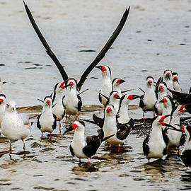 Black Skimmers and Ring Billed Gulls  by Mark Fuge
