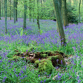 Bluebell Woods Panorama by Warren Photographic