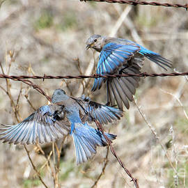 Bluebird Battle
