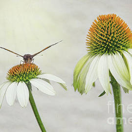 Butterfly On White Coneflower by Sharon McConnell