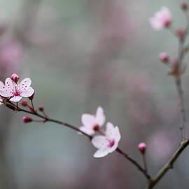 Cherry Spring - Rebecca Cozart