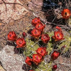 Claret Cup Cactus by NaturesPix