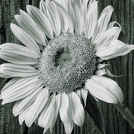 Classic Black And White Sunflower - Garry Gay