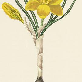 Common Yellow Crocus - Margaret Roscoe