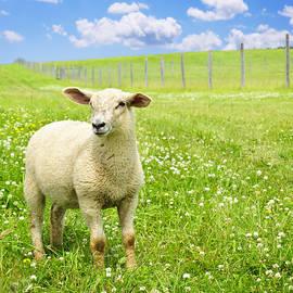Cute young sheep by Elena Elisseeva