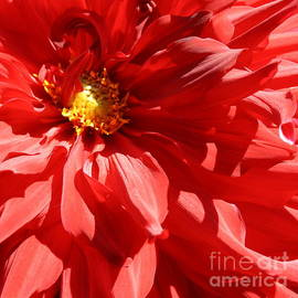 Dora Sofia Caputo Photographic Design and Fine Art - Dahlia Radiant in Red