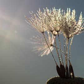Dandelion Plumes by Brad Boland