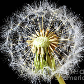 Dandelion Seed Head by Colin Rayner