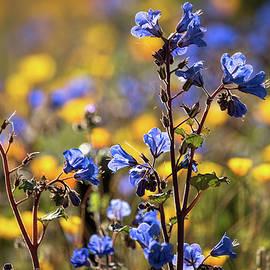 Saija Lehtonen - Desert Bluebells