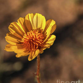 Desert Sunflower by Robert Bales