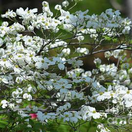 Ruth Housley - Dogwood Blossoms