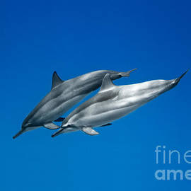 Dolphin Pair by Sean Davey