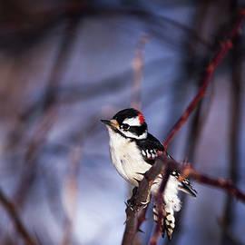 Karol Livote - Downy Woodpecker