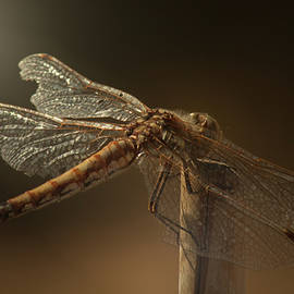 Kathryn Stone - Dragonfly