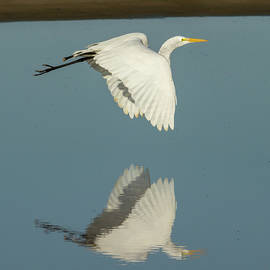 Bruce Frye - Egret in Flight