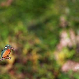 Elenarts - Elena Duvernay photo - Eurasian, river or common kingfisher, alcedo atthis, Neuchatel,