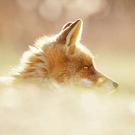Roeselien Raimond - Focused Fox