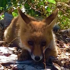 Fox Joy by Colette V Hera Guggenheim