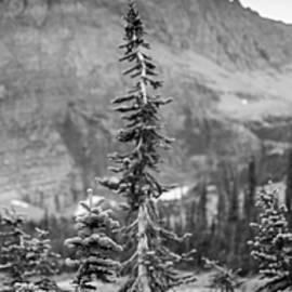 Gnarled Pines by Alex Blondeau