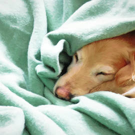 Golden Retriever Dog Under the Blanket by Jennie Marie Schell