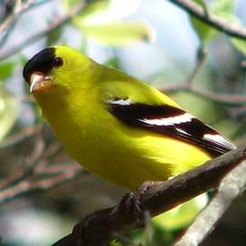 Angela Davies - Goldfinch Spring