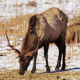 Jeff Swan - Grazing bull elk