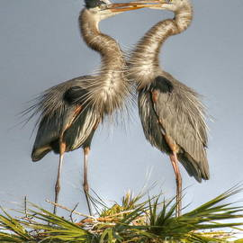 Great Blue Heron Couple by Myrna Bradshaw