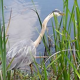 Great Blue Heron by Donna Cook