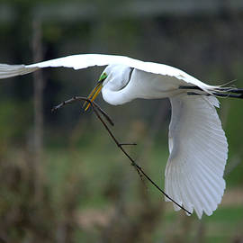 Great Egret Nest Materials by Roy Williams
