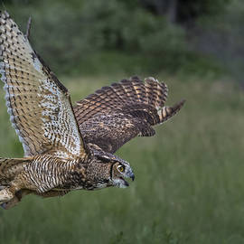 Great Horned Owl by David Hook