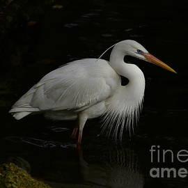 Great White Heron by Myrna Bradshaw