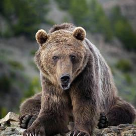 Wildlife Fine Art - Grizzly Bear