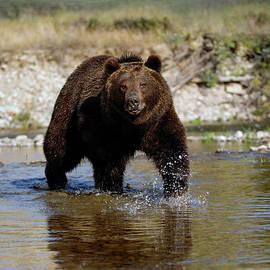 Wildlife Fine Art - Grizzly Fishing
