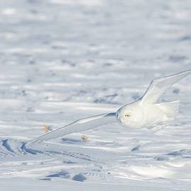 Snow Owl by Gina Levesque