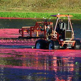 Mike Martin - Harvesting Cranberries