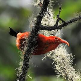 Hawaiian 'I'iwi Bird by Heidi Fickinger