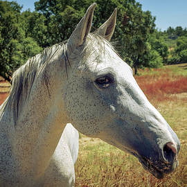 Horse Portrait - Carlos Caetano