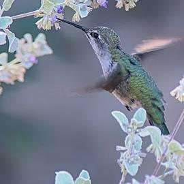 Tam Ryan - Hummingbird 0091