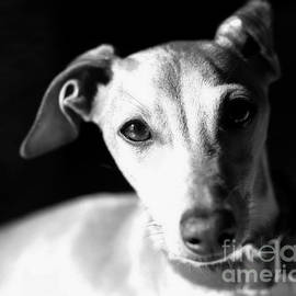 Italian Greyhound Portrait In Black And White by Angela Rath