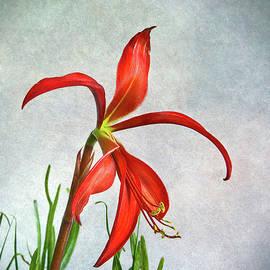 Jacobean Lily by Robert Murray