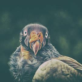 King Vulture - Martin Newman