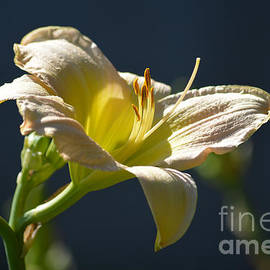Light Yellow Daylily  by Ruth  Housley