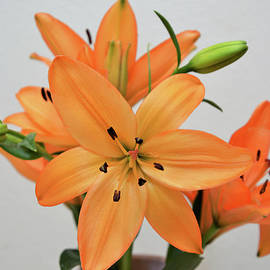 Ti Oakva - Lily Under the Sun