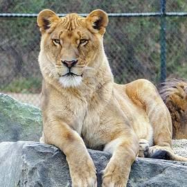 Bob Cuthbert - Lioness
