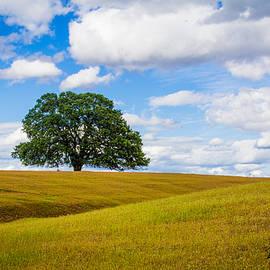 Lone Oak by Vincent Bonafede