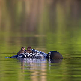 Loon Chick Yawn by John Vose
