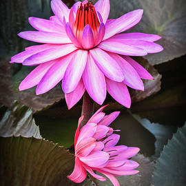 Usha Peddamatham - Lotus in a pond